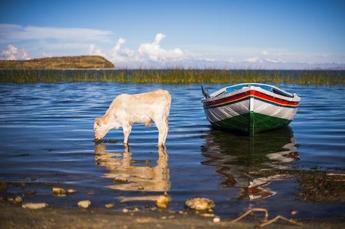 Bolivia Travel Landscape Photography Cattle at Challapampa village Isla del Sol Island of the Sun Lake Titicaca Bolivia South America