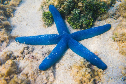 Cook Islands Landscape Travel Photography Blue starfish Linckia laevigata Muri Lagoon Rarotonga Cook Islands