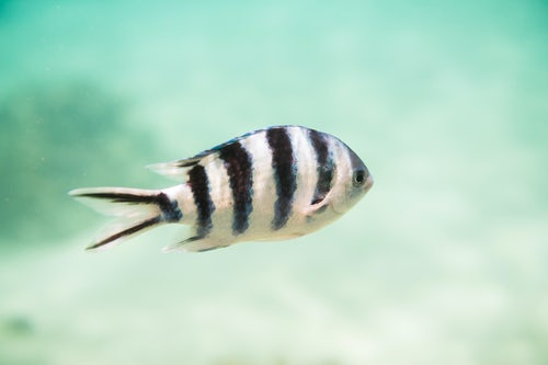 Cook Islands Landscape Travel Photography Underwater photo of a Sergeant Major Fish aka píntano Abudefduf saxatilis in Muri Lagoon Rarotonga Cook Islands background with copy space