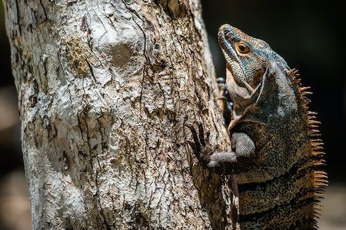 Costa Rica Wildlife Photography Black Spiny Tailed Iguana Lizard Ctenosaura similis Manuel Antonio National Park Beach Pacific Coast Costa Rica 2