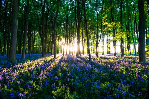 England Landscape Photography Photographer Bluebell woods in Spring Oxford Oxfordshire England United Kingdom Europe