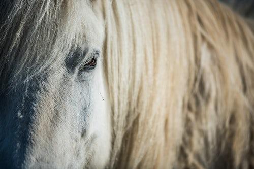Iceland Travel Photography Icelandic horse also referred to as Icelandic Pony Iceland