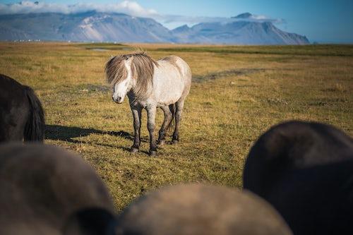 Iceland Travel Photography Portrait of an Icelandic horse aka Icelandic Pony in the Icelandic Mountain landscape Iceland Europe