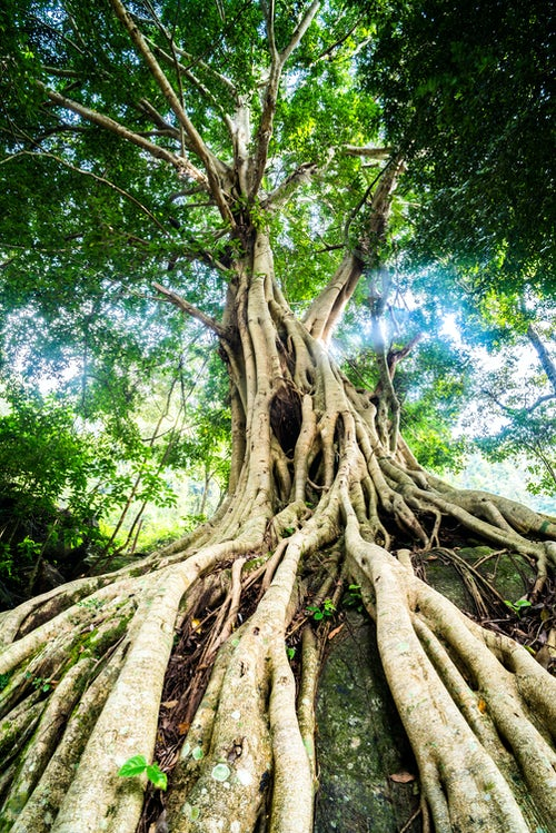 India Landscape Photography Old twisted tree roots Munnar Western Ghats Mountains Kerala India