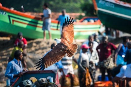 India Wildlife Photography Lesser Fish Eagle Haliaeetus Humilis Kappil Beach Varkala Kerala India