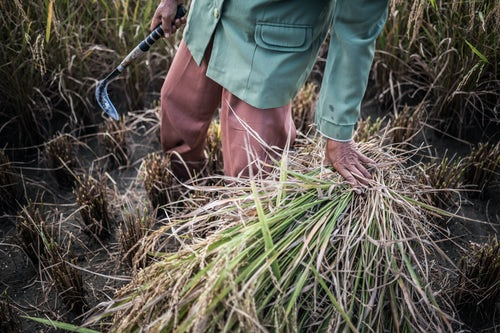 Indonesia Travel Photography Farmers working in a rice paddy field Bukittinggi West Sumatra Indonesia Asia 2