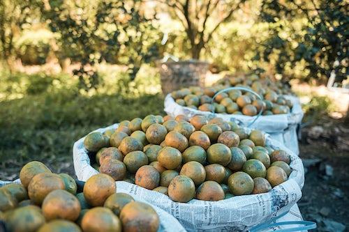 Indonesia Travel Photography Orange farm Berastagi Brastagi North Sumatra Indonesia Asia