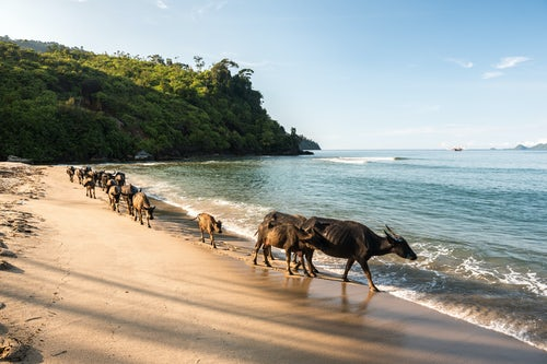 Indonesia Travel Photography Water Buffalo on the beach at Sungai Pinang near Padang in West Sumatra Indonesia Asia