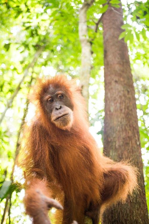 Indonesia Wildlife Photography Orangutan Pongo Abelii in the jungle near Bukit Lawang Gunung Leuser National Park North Sumatra Indonesia Asia