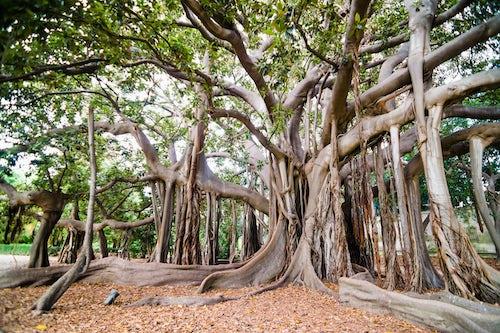 Italy Sicily Travel Photography Palermo Botanical Gardens Orto Botanico a Moreton Bay Fig Tree Banyan Tree Ficus macrophylla Sicily Italy Europe