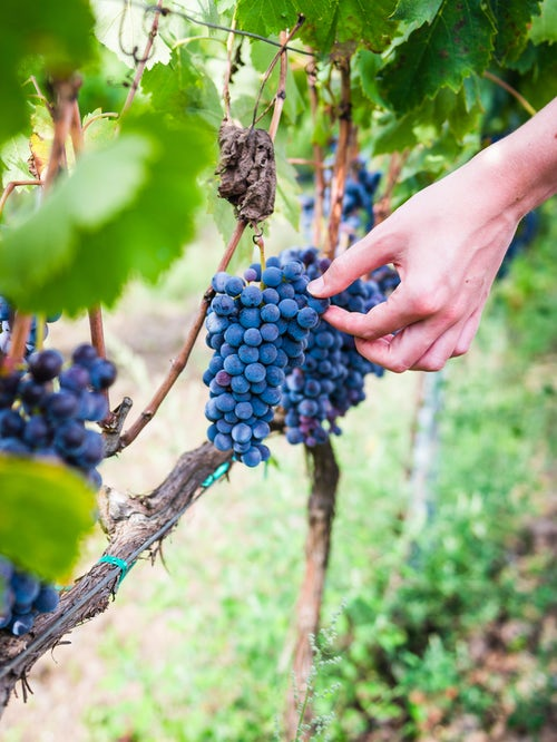 Italy Sicily Travel Photography Tourist picking grapes at a vineyard on Mount Etna Volcano Sicily UNESCO World Heritage Site Italy Europe