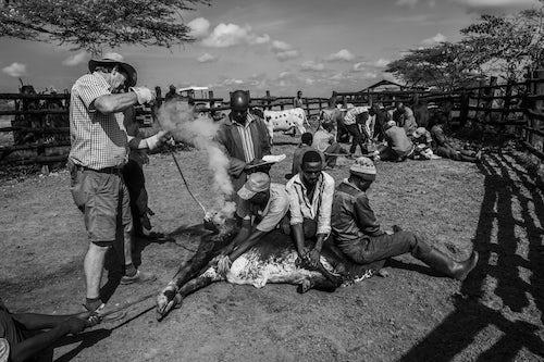 Kenya Documentary Travel Photography Cattle farming at Mogwooni Ranch Laikipia County Kenya 4