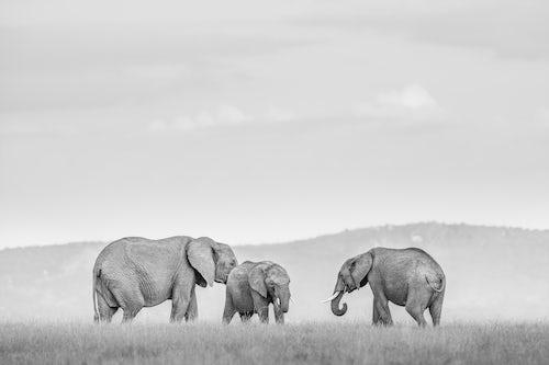 Kenya Wildlife Photography Elephants African Elephant Loxodonta Africana at El Karama Ranch Laikipia County Kenya