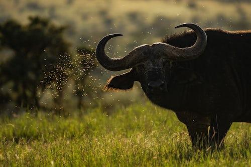 Kenya Wildlife Photography African Buffalo Syncerus caffer aka Cape Buffalo at El Karama Ranch Laikipia County Kenya 2