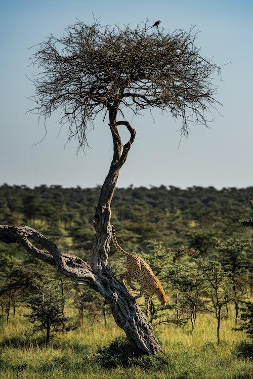 Kenya Wildlife Photography Cheetah Acinonyx jubatus at El Karama Ranch Laikipia County Kenya