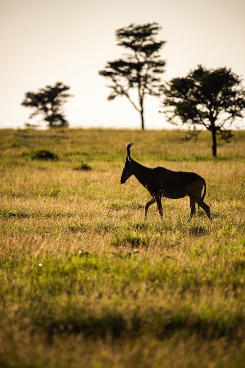 Kenya Wildlife Photography Hartebeest Alcelaphus buselaphus aka Kongoni at El Karama Ranch Laikipia County Kenya