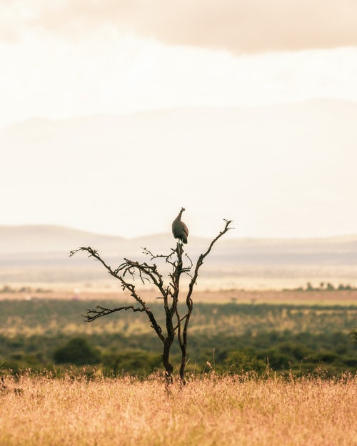 Kenya Wildlife Photography Helmeted Guineafowl Numida meleagris at El Karama Ranch Laikipia County Kenya