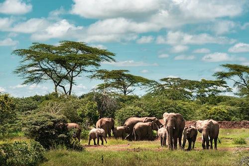 Kenya Wildlife Photography Herd of African Elephant Loxodonta africana at Sosian Ranch Laikipia County Kenya 2