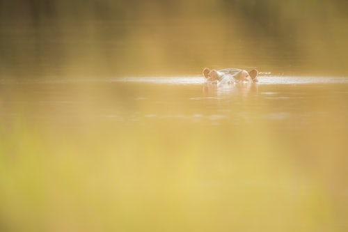 Kenya Wildlife Photography Hippo Hippopotamus amphibius at Sosian Ranch Laikipia County Kenya