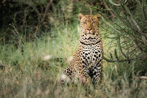 Kenya Wildlife Photography Leopard Panthera pardus on an African wildlife safari vacation at El Karama Ranch Laikipia County Kenya Africa
