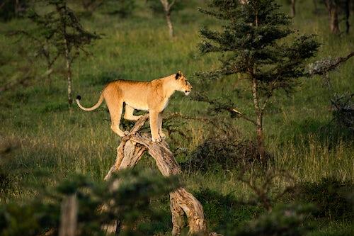 Kenya Wildlife Photography Lion Panthera leo female lioness at El Karama Ranch Laikipia County Kenya