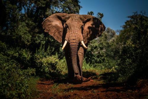 Kenya Wildlife Photography Portrait of a large African Elephant Loxodonta africana on an African wildlife safari vacation in Aberdare National Park Kenya