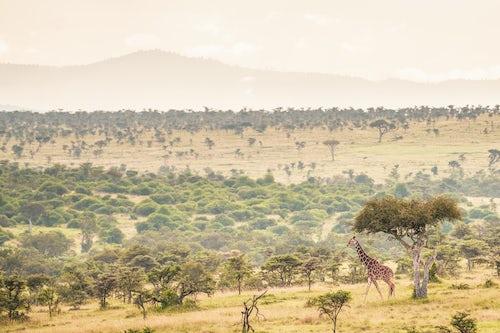 Kenya Wildlife Photography Reticulated Giraffe Giraffa reticulata at El Karama Ranch Laikipia County Kenya