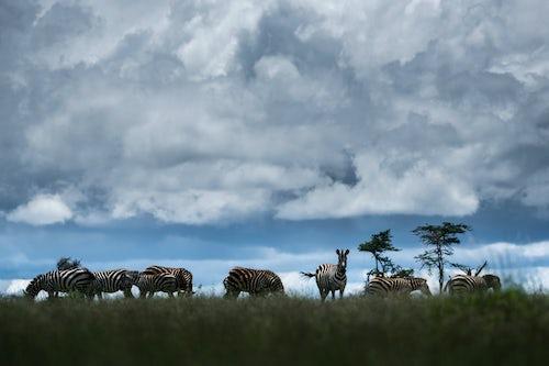 Kenya Wildlife Photography Zebra Equus quagga at El Karama Ranch Laikipia County Kenya 3