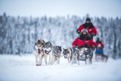 Lapland Finland Adventure Travel Photography Huskies excited to be on a husky dog sledding adventure in the cold snow covered winter landscape Torassieppi Lapland Finland
