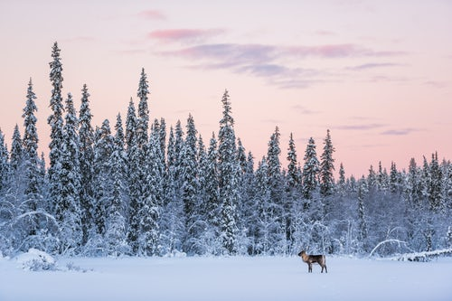 Lapland Finland Landscape Photography Reindeer at Christmas in the frozen cold snow covered winter landscape in Lapland in Finland