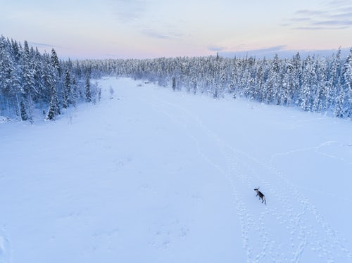 Lapland Finland Travel Photography Reindeer at Christmas in the frozen cold snow covered winter landscape in Lapland in Finland drone