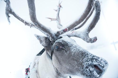Lapland Finland Travel Photography Reindeer farm Torassieppi Finnish Lapland Finland 2
