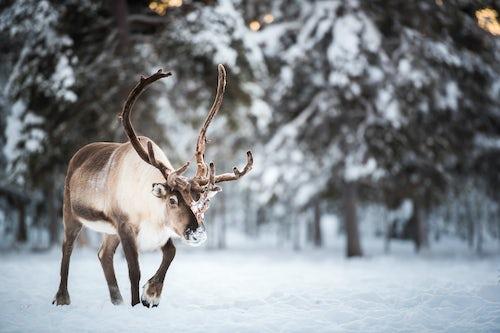 Lapland Finland Travel Photography Reindeer farm Torassieppi Finnish Lapland Finland 3