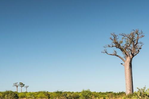 Madagascar Landscape Photography Baobab Trees seen from RN7 near Ifaty South West Madagascar Africa
