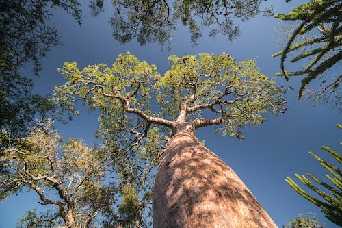 Madagascar Travel Photography Baobab Tree in Spiny Forest Parc Mosa a Mangily Ifaty South West Madagascar Africa