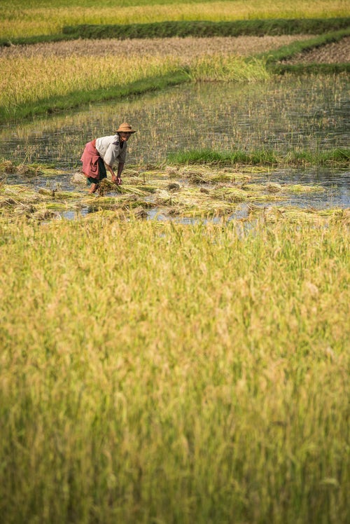 Madagascar Travel Photography Working in rice paddy fields on RN7 Route Nationale 7 near Ambatolampy in the Central Highlands of Madagascar