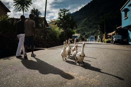 Madagascar Travel Street Photography Geese in Ranomafana Madagascar Central Highlands