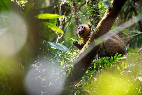 Madagascar Wildlife Photography Golden Bamboo Lemur Hapalemur aureus Ranomafana National Park Haute Matsiatra Region Madagascar