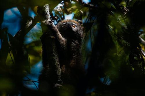 Madagascar Wildlife Photography Grey Bamboo Lemur Hapalemur Andasibe Mantadia National Park Madagascar