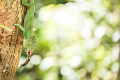 Madagascar Wildlife Photography Parsons chameleon Calumma parsonii endemic to Madagascar catching a fly