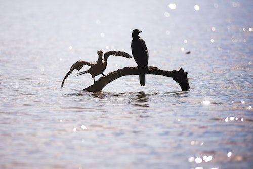 Peru Wildlife Photography Neotropic Cormorant Phalacrocorax brasilianus Sandoval Lake Tambopata National Reserve Amazon Jungle of Peru South America