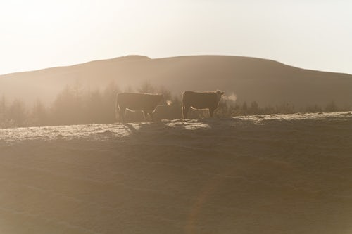 Scotland Travel Photography Cows in cold winter weather Blair Atholl Perthshire Highlands of Scotland United Kingdom Europe