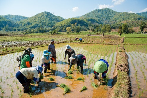 Thailand Documentary Travel Photography Planting rice in the hills near Chiang Rai Thailand Southeast Asia