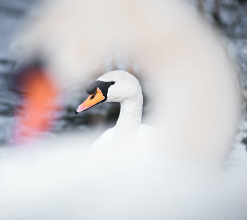 Wales Wildlife Photography Swan at Llanmynech on the border of England and Wales