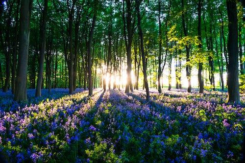 Landscape Photography by Professional Freelance UK Landscape Photographer Bluebell woods in Spring Oxford Oxfordshire England United Kingdom Europe