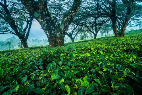 Landscape Photography by Professional Freelance UK Landscape Photographer Tea plantations landscape near Munnar in the Western Ghats Mountains Kerala India 2