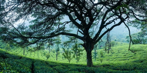 Landscape Photography by Professional Freelance UK Landscape Photographer Tea plantations landscape near Munnar in the Western Ghats Mountains Kerala India