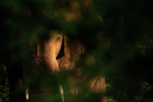 Wildlife Photography by Professional Freelance Wildlife Photographer UK African Elephant Loxodonta africana at Sosian Ranch Laikipia County Kenya