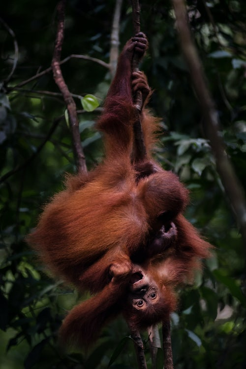 Wildlife Photography by Professional Freelance Wildlife Photographer UK Funny photo of two baby Orangutans Pongo Abelii in the jungle near Bukit Lawang Gunung Leuser National Park North Sumatra Indonesia Asia