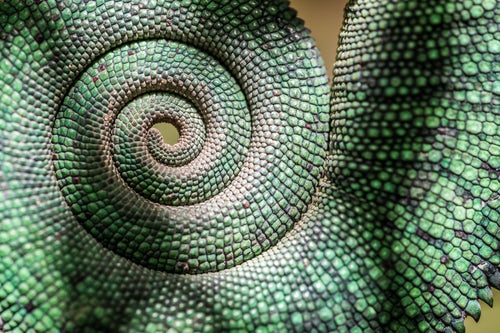 Wildlife Photography by Professional Freelance Wildlife Photographer UK Green Panther Chameleon Furcifer pardalis endemic to Madagascar
